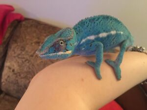 Chameleons galore for sale !!!! Diff breeds!!