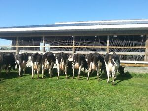 Fresh cows for sale
