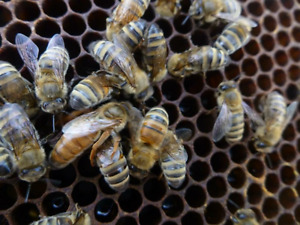 Queen Rearing Beekeeping Course- May 26, 2017