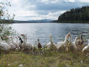 White Sebastopol Geese for sale. Williams Lake Cariboo Area image 3