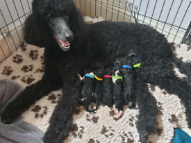 Standard poodle puppies
