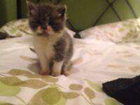 Fluffy Grey Persian X Kittens