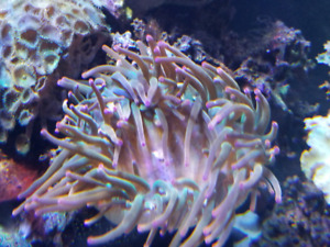 red bubble tip anemone
