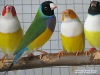 Male GOULDIAN FINCHES - CLEAR OUT SALE