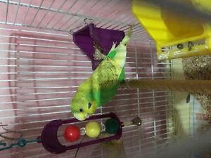 4 Budgies for sale with black