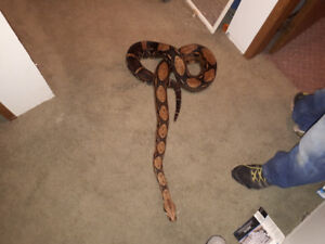 7 foot boa constrictor pet snake for sale
