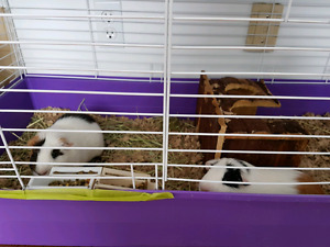 Free to male guinea pigs SOLD