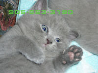 Scottish Fold  Kitten.  Little Teddy Bear!