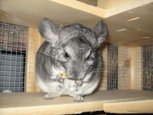 Chinchilla Looking  for New Home