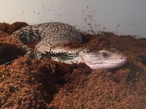 Female Merauke Blue Tongue Skink