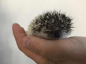 Hedgehogs! Super adorable and very tame home raised babies!