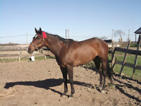 BEAUTIFUL THOROUGHBRED MARE AVAILABLE FOR PART-BOARDING