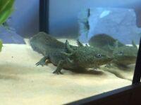 Axolotl with tank