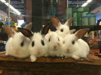 Only Three Left! 10 Week old baby bunnies!