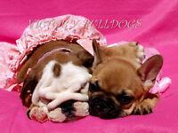 Stunning Ch Sired English Bulldog Puppies