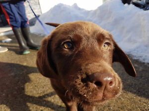 Female Labrador pup is  SOLD