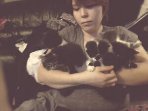 Free kittens tabby, black and white, one light grey nd white
