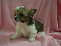Melt your heart Morkie Puppies