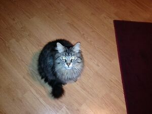cat still missing / chelsea qc Gatineau Ottawa / Gatineau Area image 1