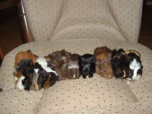 Beautiful Baby Guinea Pigs - males and females