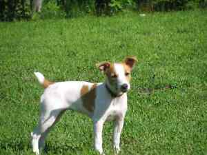 LOOKING FOR A JACK RUSSELL TERRIER