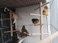 Canary a