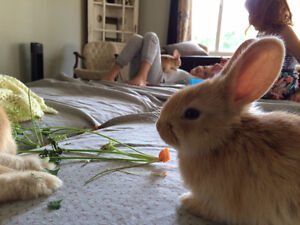 Flemish giant bunnies ready for a new home