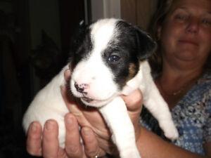 4 Healthy Jack Russel pups