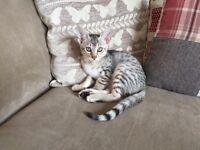 Egyptian Mau Kitten.