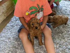 Toy/miniature poodle puppies