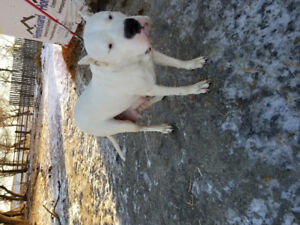 Breeding pair of dogo Argentino Dogs For sale