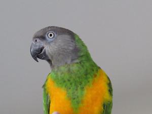 Perroquet Youyou du Sénégal à vendre