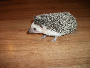 hedgehog baby female