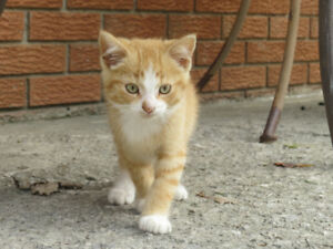Male American Short Haired Kittens For Sale