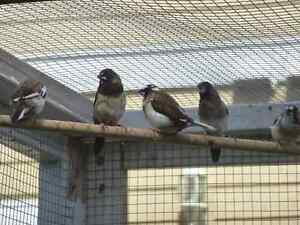 Two baby society finches for sale