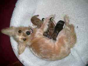 Yorkie yorkshire terrier puppies