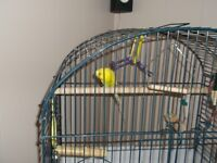 budgie bird with nice big cage