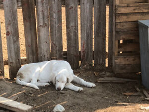 Livestock Guardian Pup for sale