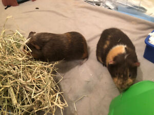 Two male guinea pigs looking for new home