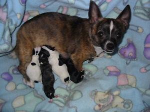 Chihuahua PUPPIES 4 Girls $650 / 1 Boy Ready to go NOW $500