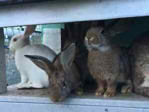 Flemish Giants-meat rabbits