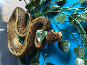 Ball python snake for sale
