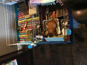 Free guinea pigs and cages! Only to a loving home please.