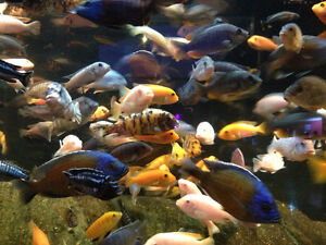 Cichlids For Sale (Minimum Purchase is 10 Fish)