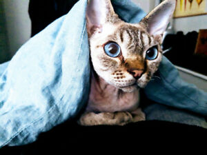 Devon Rex, neutered male, 10 months old.