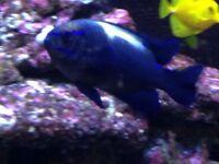 Blue velvet damselfish
