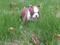 Boston Terrier Brun