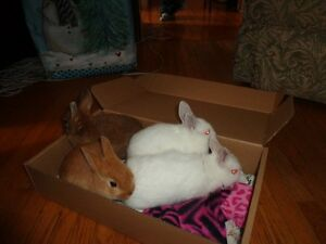 Beautiful Baby bunnies ready for adoption Peterborough Peterborough Area image 4
