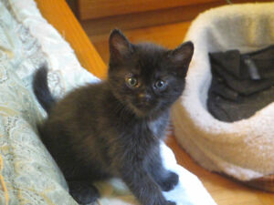 Kittens 2 females & 1 male FREE for adoption available mid June