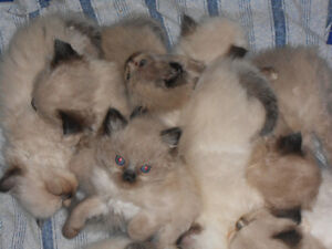 Purebred Himalayan kittens for sale